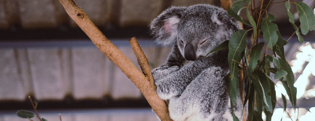 Australia ;one Pine Koala Sanctuary